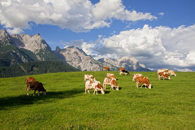 Hinterwäldler Rinder